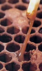 Loque américaine, les larves sont liquéfiées sous forme de pâte filante