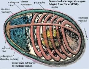 Shéma d'une spore de Noséma