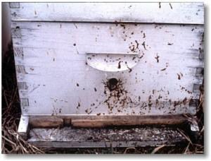 Traces de diarrhée provoquées par la Nosémose sur la face avant d'une ruche.
