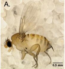 Femelle adulte d' Apocephalus Borealis