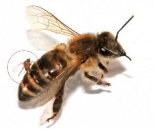 Apocephalus Borealis en train de pondre dans l'abdomen d'une abeille