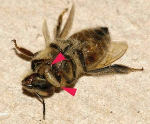 Larves sortant du thorax d'une abeille morte