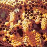 Les abeilles ont commencé un élevage royal