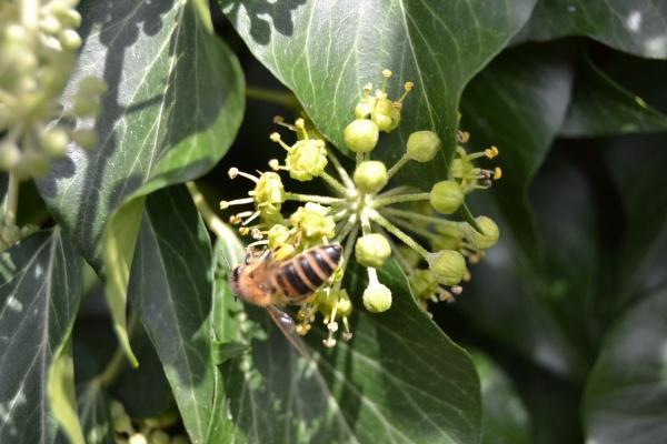 Une abeille Carnica sur du lierre déjà fleuri à la mi-aout