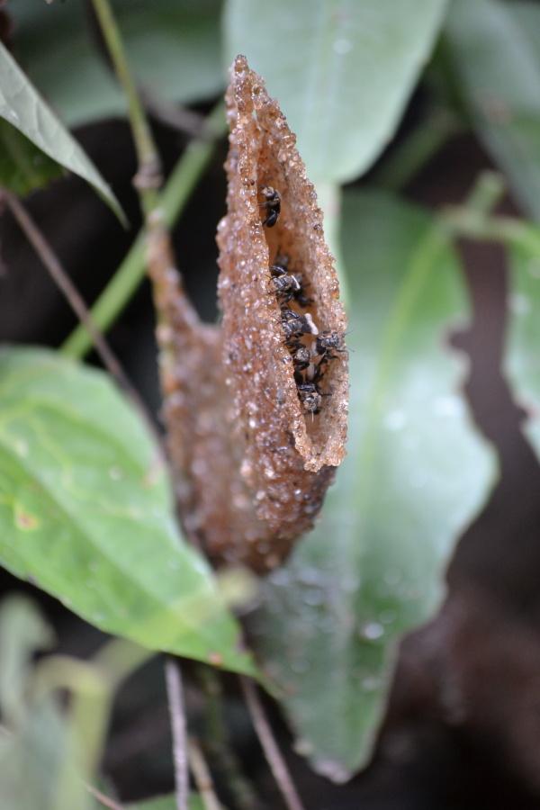 Une autre espèce, l'entrée est longue et étroite, à demi cachée dans les feuilles, et les gardiennes