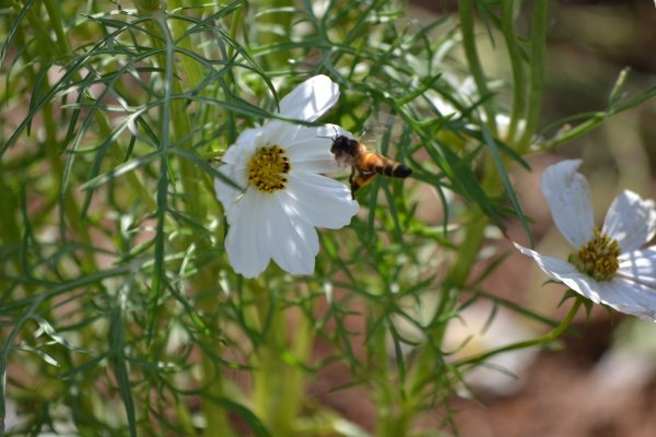 Apis Dorsata, récolte de pollen