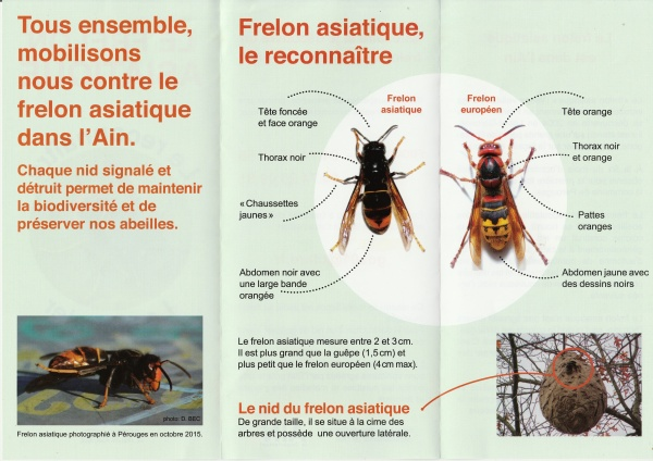 Flyer frelon asiatique verso