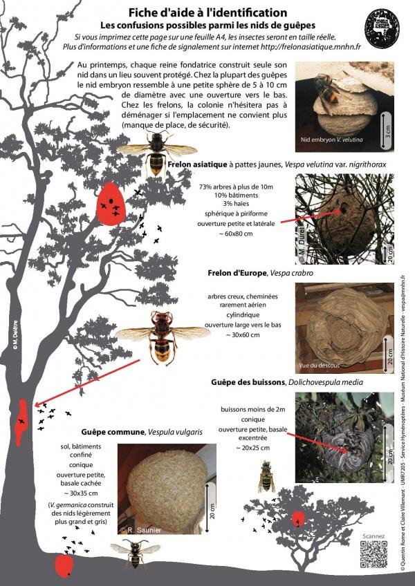 Fiches_Identification_Vespa_velutina_MNHN-page-002