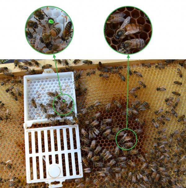 Il y avait 2 reines dans la ruche