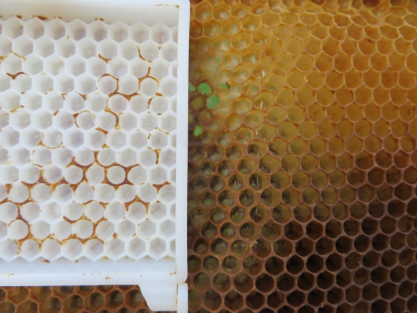 Parfois une surprise, des œufs dans la cage, et d'autres œufs et du couvain sur le cadre