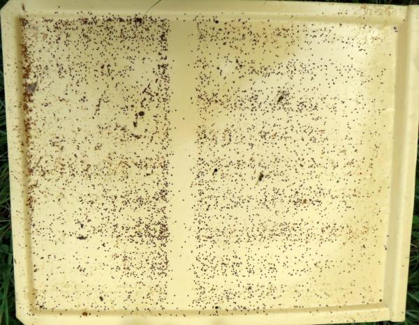 Un bel exemple de nombreuses chutes de varroas après un traitement suivant un encagement de la reine en cage Scalvini.