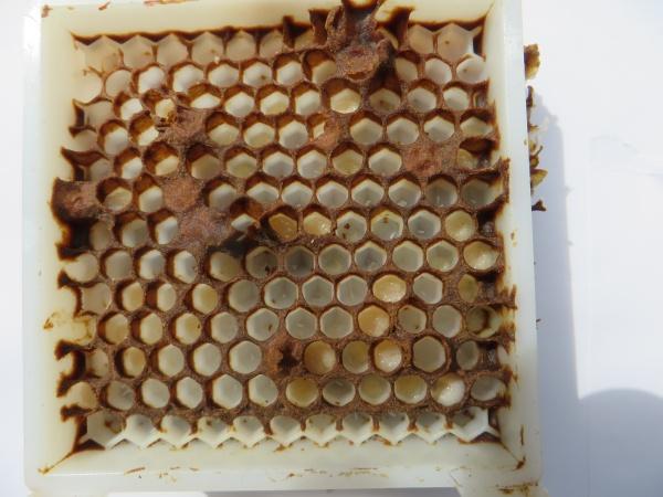 Parfois dans certaines cages les abeilles réussissent à operculer quelques cellules