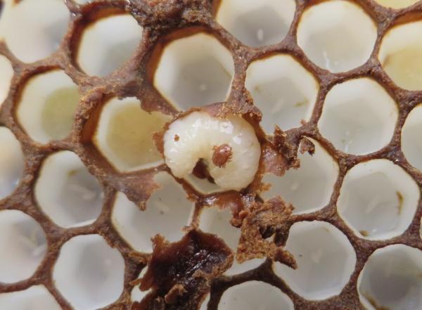 Une de ces cellules désoperculée, on voit un varroa sur la larve, d'autres apparaissent dessous