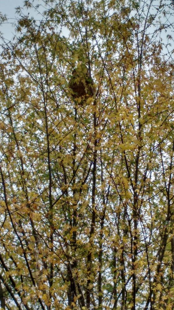Le nid dans un érable