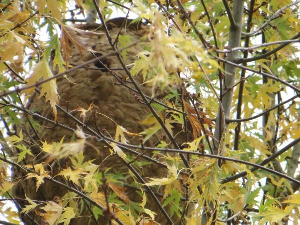 Un zoom du nid, on voit bien l'entrée latérale en haut du nid, caractéristique des nids de frelon asiatique. L'entrée des nids de frelon européen est sur le dessous