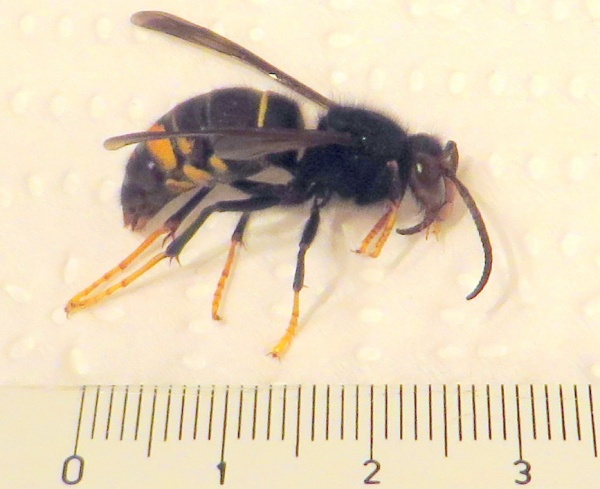 Frelon asiatique trouvé dans un piège au rucher de Béard Géovreissiat